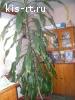 """Продаю комнатное растение """"драцена"""" высотой 2,5 м. Цена договорная. обращаться по телефону 8-960-349-21-55"""